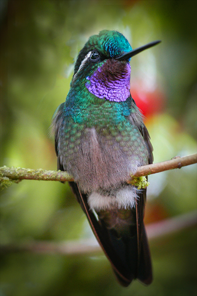 Aguila de Osa Blue throated mountaingem Humming bird during our photography workshop in Costa Rica
