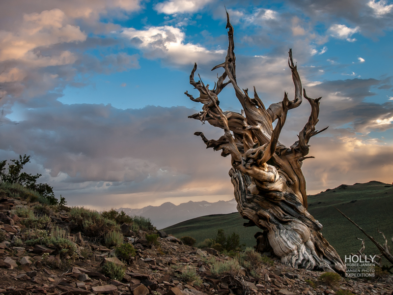 Bristlecone Forest during Eastern Sierra photo expedition www.JansenPhotoExpeditions.com