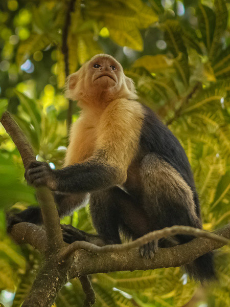 Costa Rica Monkies on our our Photography Workshop