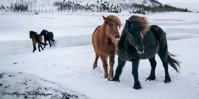 Icelandic horse story