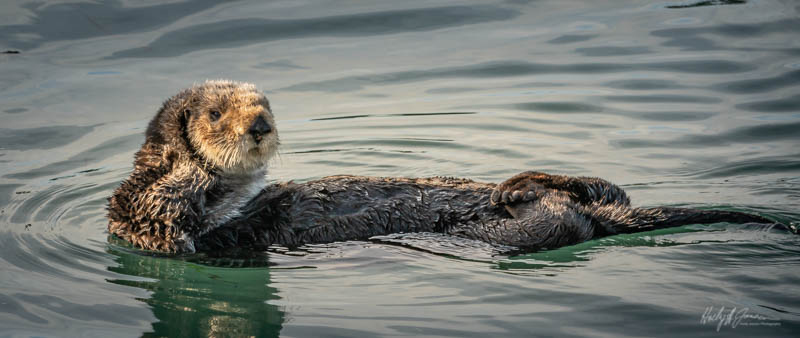 Sea Otter on the Central Coast CA photography workshop