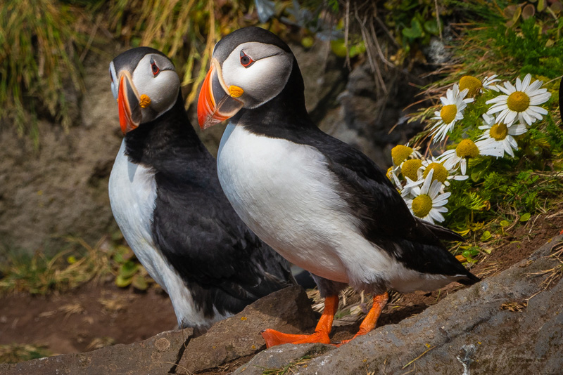 Latrabjarg sea cliffs - Puffin during our photography workshop with Jansen Photo Expeditions