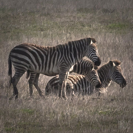 Zebras photography is a highlight on our California Central Coast Photography Workshops.